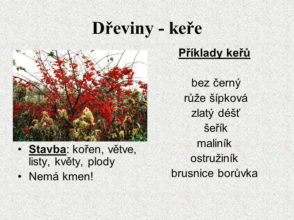 Dřeviny - keře Stavba: kořen, větve, listy, květy, plody Nemá kmen! Příklady keřů bez černý růže šípková zlatý déšť šeřík maliník ostružiník brusnice