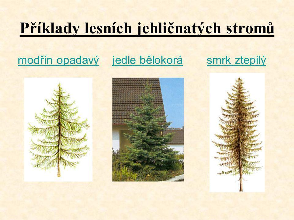 Příklady lesních jehličnatých stromů modřín opadavýmodřín opadavý jedle bělokorá smrk ztepilýjedle bělokorásmrk ztepilý