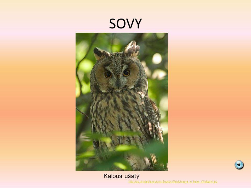 SOVY Kalous ušatý http://cs.wikipedia.org/wiki/Soubor:Waldohreule_in_freier_Wildbahn.jpg