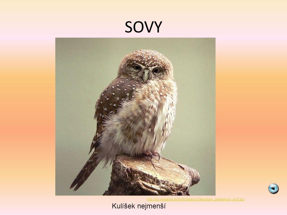 SOVY Kulíšek nejmenší http://cs.wikipedia.org/wiki/Soubor:Glaucidium_passerinum_am3.jpg