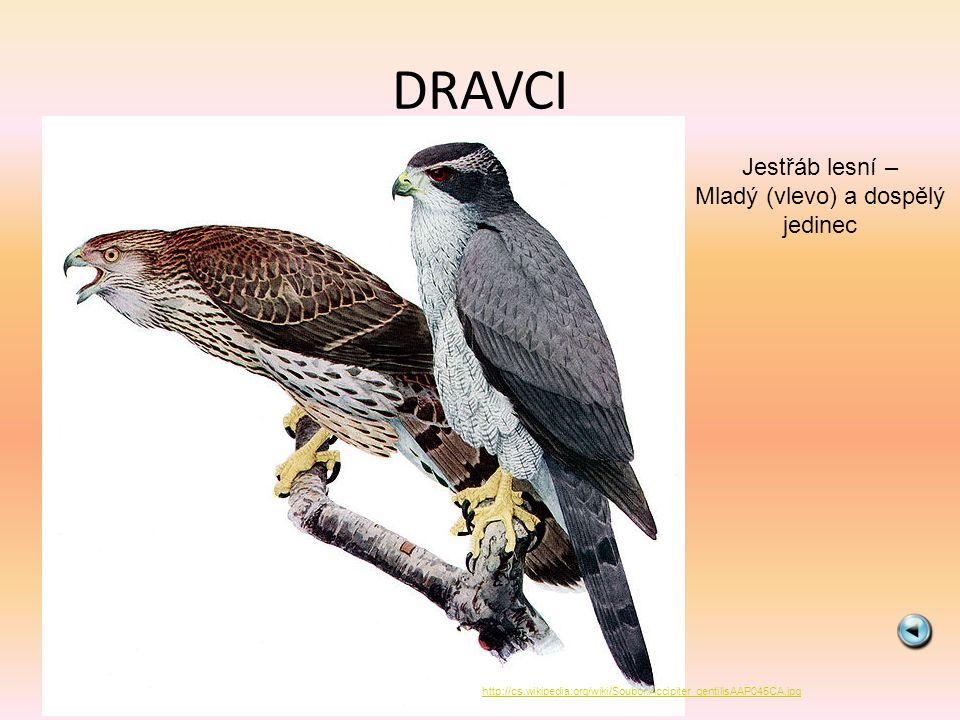 DRAVCI Krahujec obecný http://cs.wikipedia.org/wiki/Soubor:Sparrowhawk04.jpg