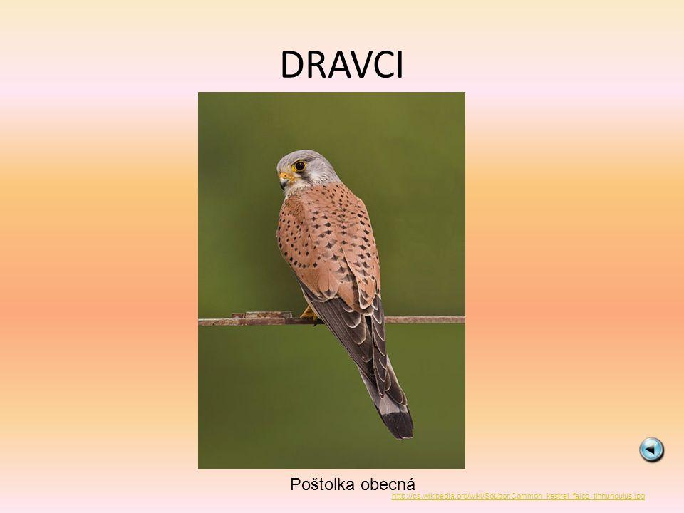 DRAVCI Poštolka obecná http://cs.wikipedia.org/wiki/Soubor:Common_kestrel_falco_tinnunculus.jpg