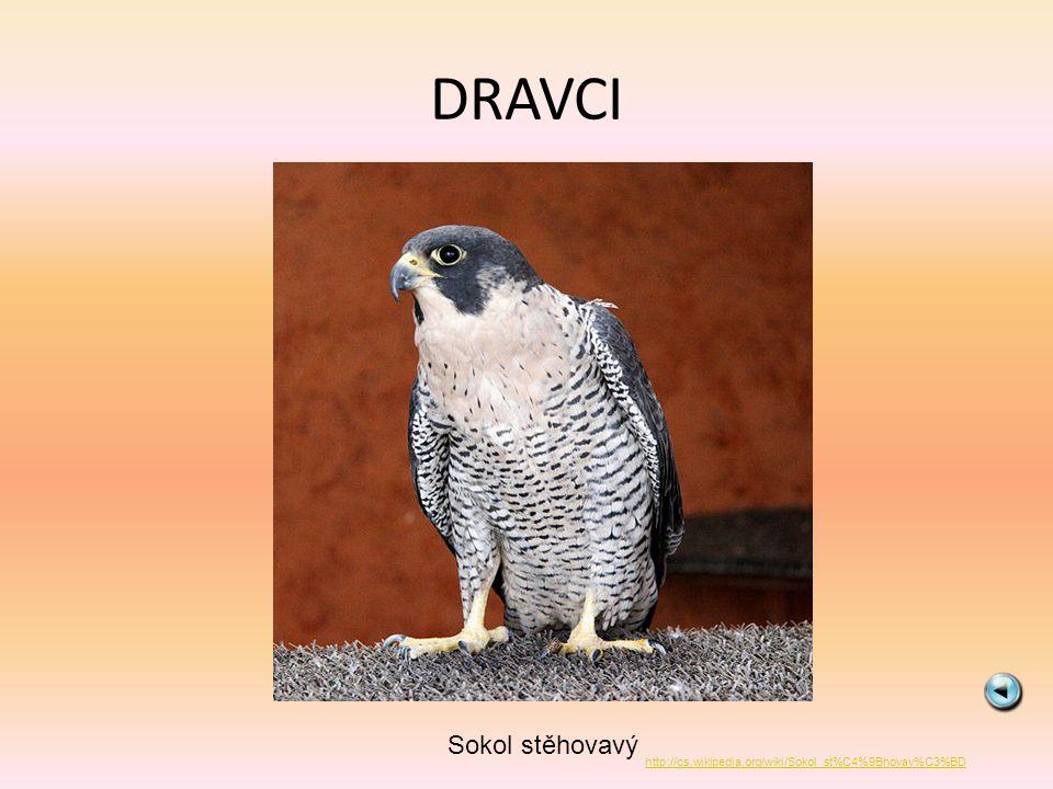 DRAVCI Orel skalní http://cs.wikipedia.org/wiki/Soubor:GoldenEagle-Nova.jpg
