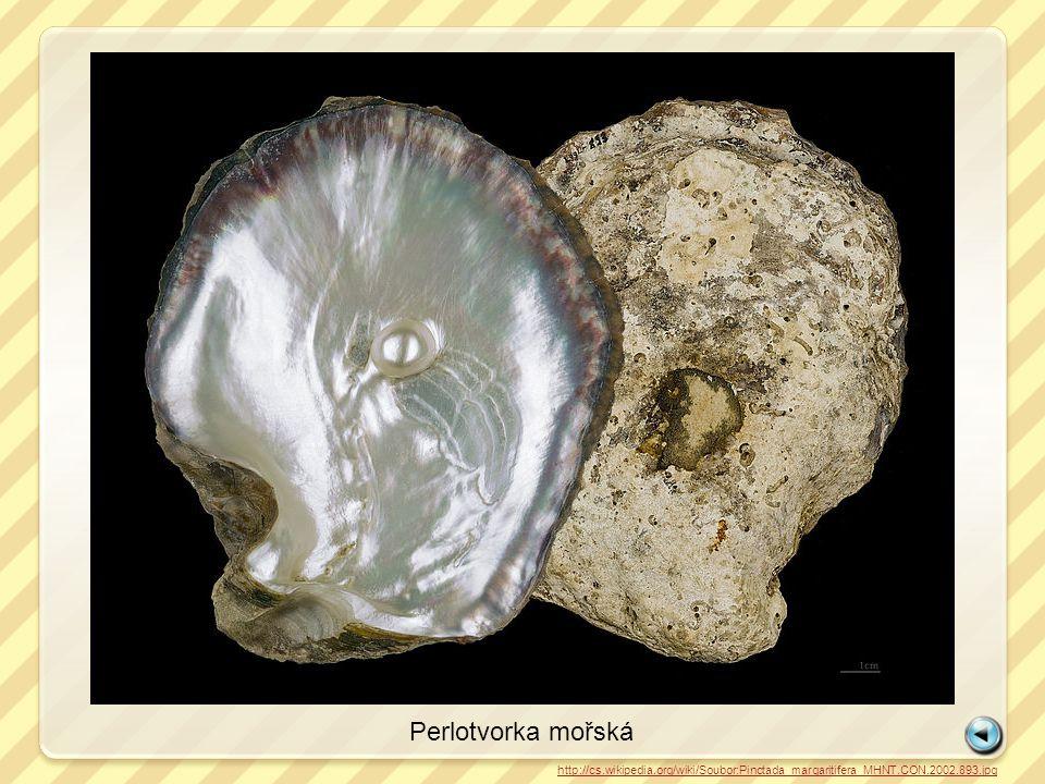 Slávka jedlá http://cs.wikipedia.org/wiki/Soubor:Miesmuscheln_Mytilus_2.jpg