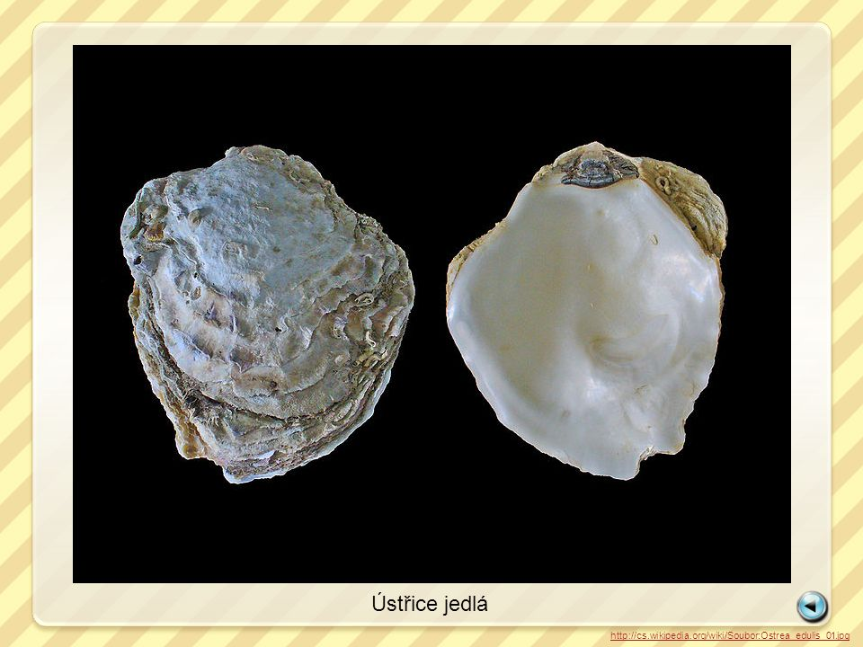 Ústřice jedlá http://cs.wikipedia.org/wiki/Soubor:European_oyster.jpg