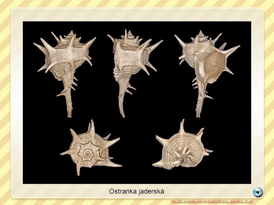 Škeble rybničná http://cs.wikipedia.org/wiki/Soubor:Anodonta_cygnea1.jpg