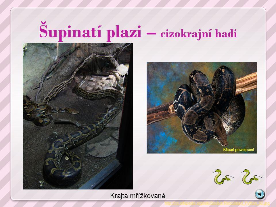 Šupinatí plazi – cizokrajní hadi http://cs.wikipedia.org/wiki/Soubor:Reticulated_Python_02.jpg Krajta mřížkovaná Klipart powerpoint