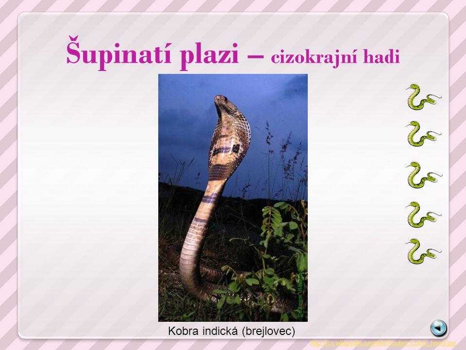 Šupinatí plazi – cizokrajní hadi http://cs.wikipedia.org/wiki/Soubor:Cobra_hood.jpg Kobra indická (brejlovec)