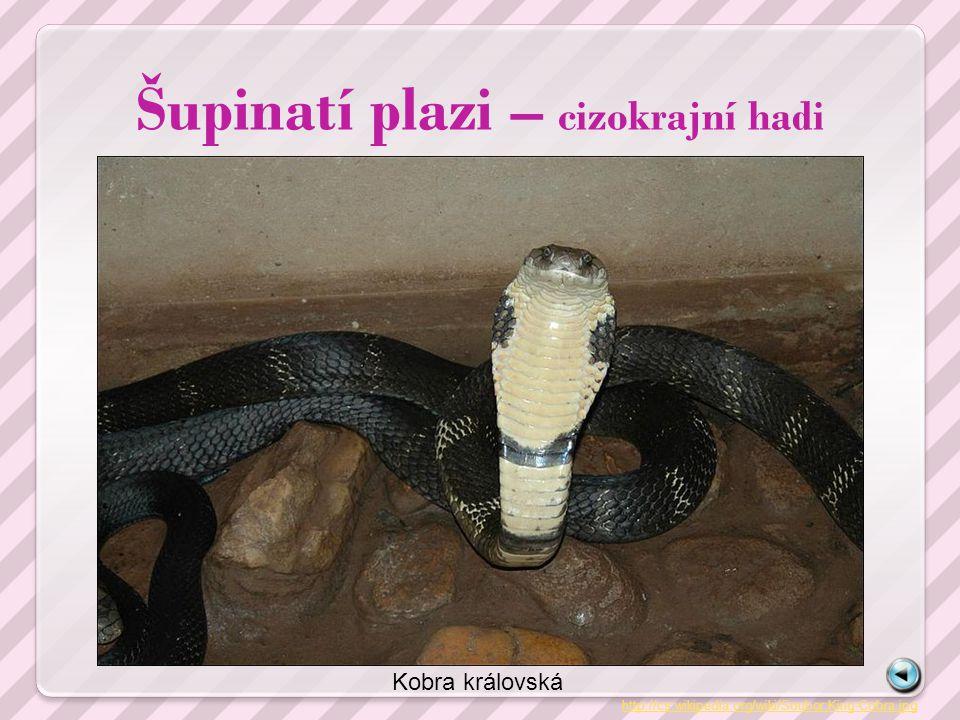 Šupinatí plazi – cizokrajní hadi http://cs.wikipedia.org/wiki/Soubor:King-Cobra.jpg Kobra královská
