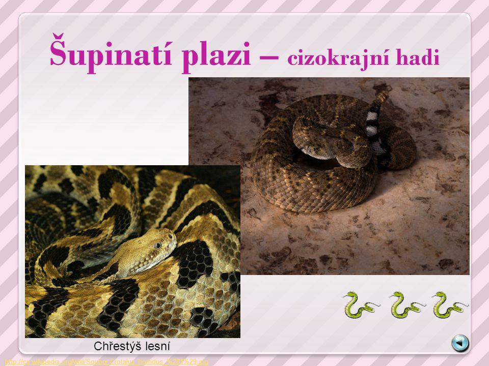 Šupinatí plazi – cizokrajní hadi http://cs.wikipedia.org/wiki/Soubor:Crotalus_horridus_%281%29.jpg Chřestýš lesní