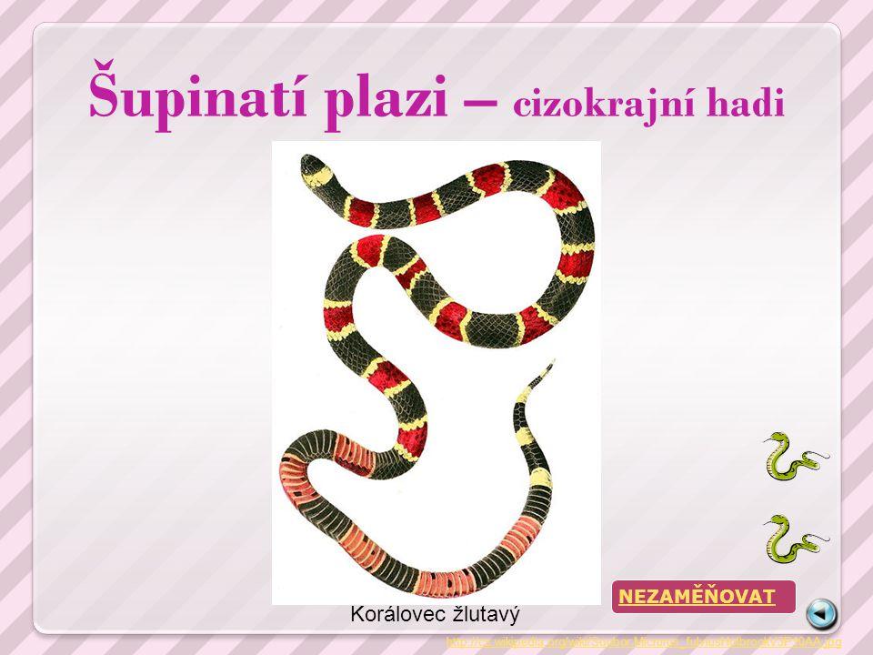 Šupinatí plazi – cizokrajní hadi http://cs.wikipedia.org/wiki/Soubor:Micrurus_fulviusHolbrookV3P10AA.jpg Korálovec žlutavý NEZAMĚŇOVAT