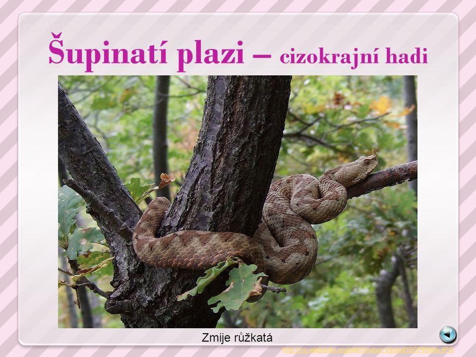Šupinatí plazi – cizokrajní hadi http://cs.wikipedia.org/wiki/Soubor:ViperaDSCF8246a.JPG Zmije růžkatá