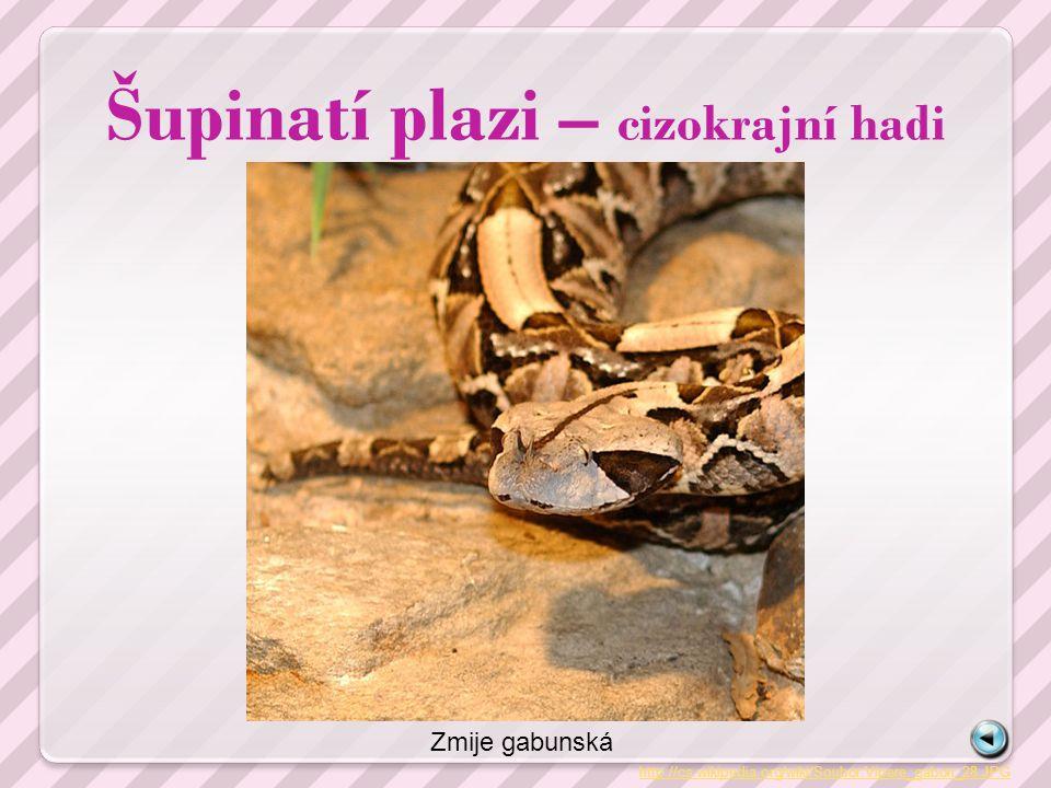 Šupinatí plazi – cizokrajní hadi http://cs.wikipedia.org/wiki/Soubor:Vipere_gabon_28.JPG Zmije gabunská