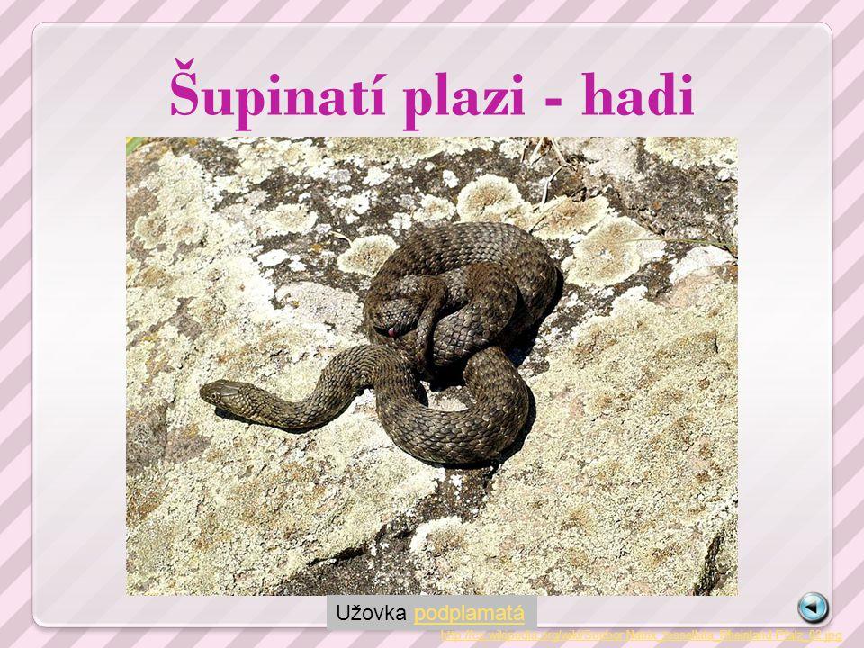 Šupinatí plazi - hadi http://cs.wikipedia.org/wiki/Soubor:Schlingnatter.jpg Užovka hladká - jediná užovka svého rodu rodí živá mláďata
