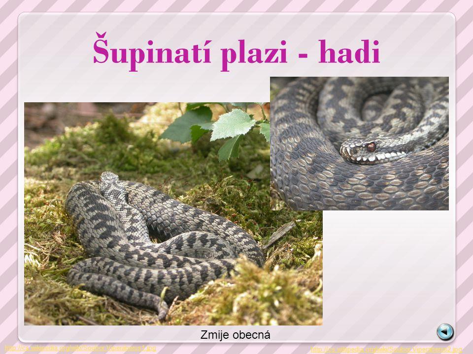 Šupinatí plazi – cizokrajní hadi http://cs.wikipedia.org/wiki/Soubor:Daboia_russelii_A_Chawla01.jpg Zmije řetízková