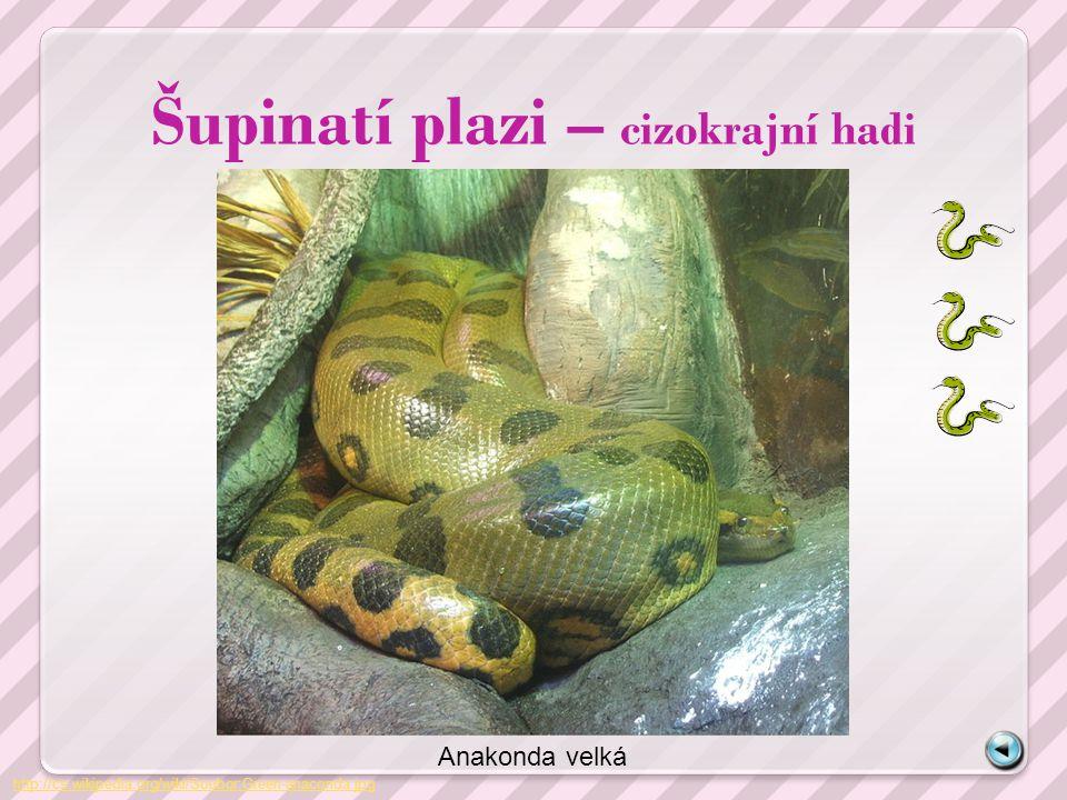 Šupinatí plazi – cizokrajní hadi http://cs.wikipedia.org/wiki/Soubor:Green-anaconda.jpg Anakonda velká