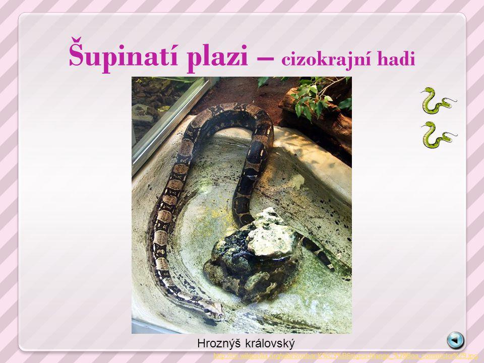 Šupinatí plazi – cizokrajní hadi http://cs.wikipedia.org/wiki/Soubor:K%C3%B6nigsschlange_%28Boa_constrictor%29.jpg Hroznýš královský