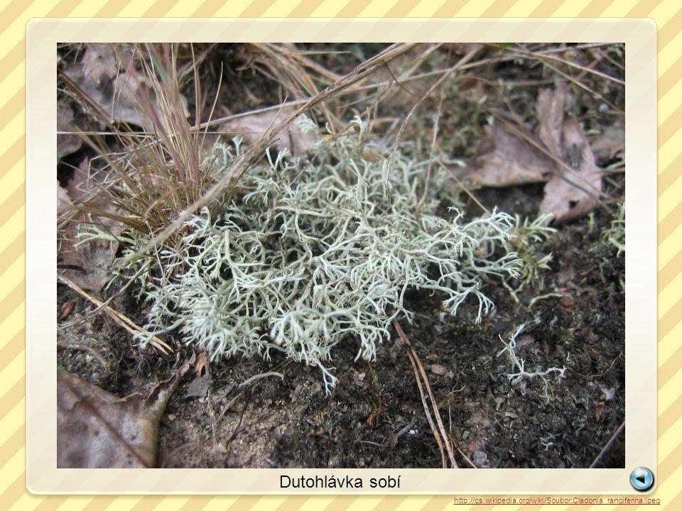 http://cs.wikipedia.org/wiki/Soubor:Cladonia_rangiferina.jpeg Dutohlávka sobí