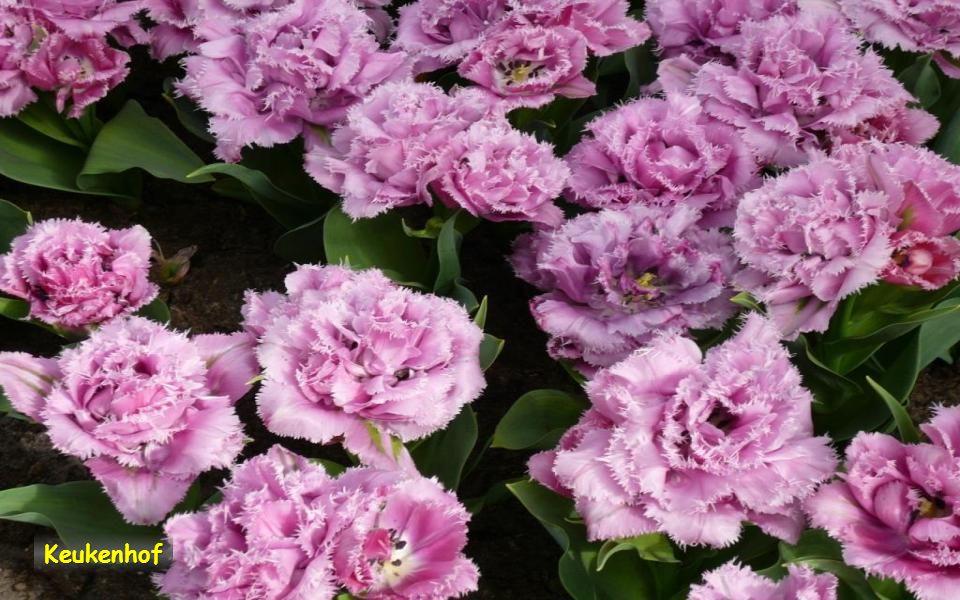 Keukenhof je otevřen od dubna do září. Nejlepším obdobím je květen.