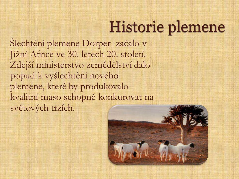 Šlechtění plemene Dorper začalo v Jižní Africe ve 30.