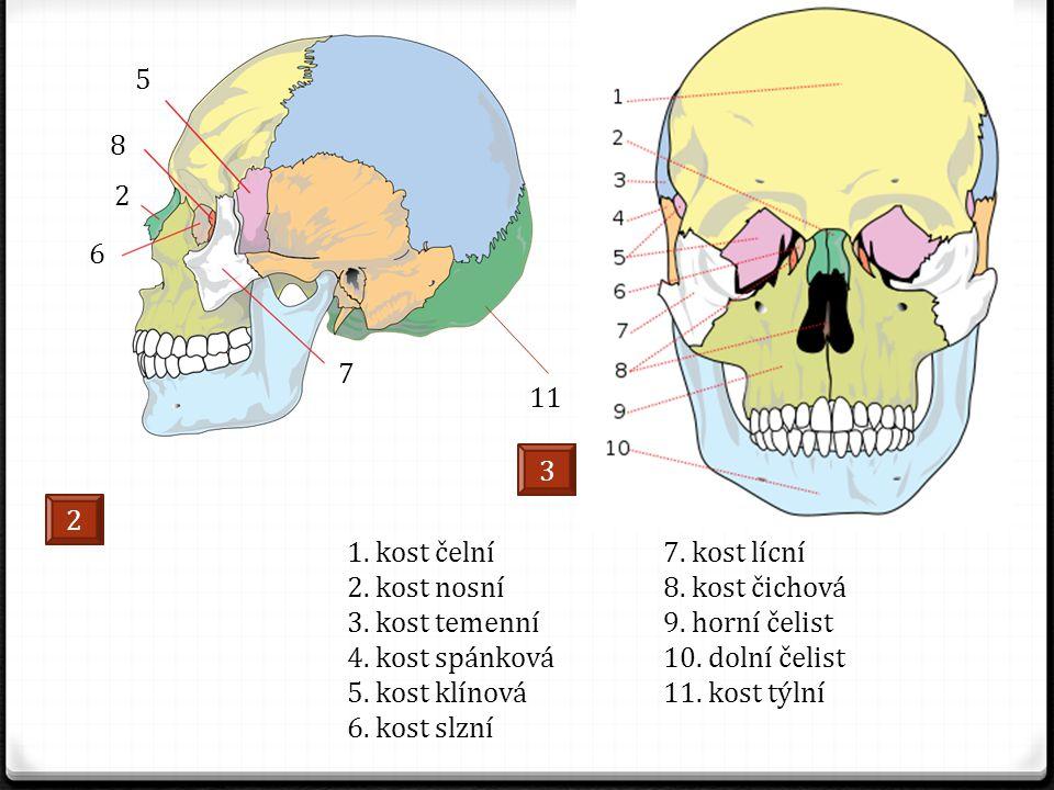 2 3 1. kost čelní7. kost lícní 2. kost nosní8. kost čichová 3. kost temenní9. horní čelist 4. kost spánková10. dolní čelist 5. kost klínová11. kost tý