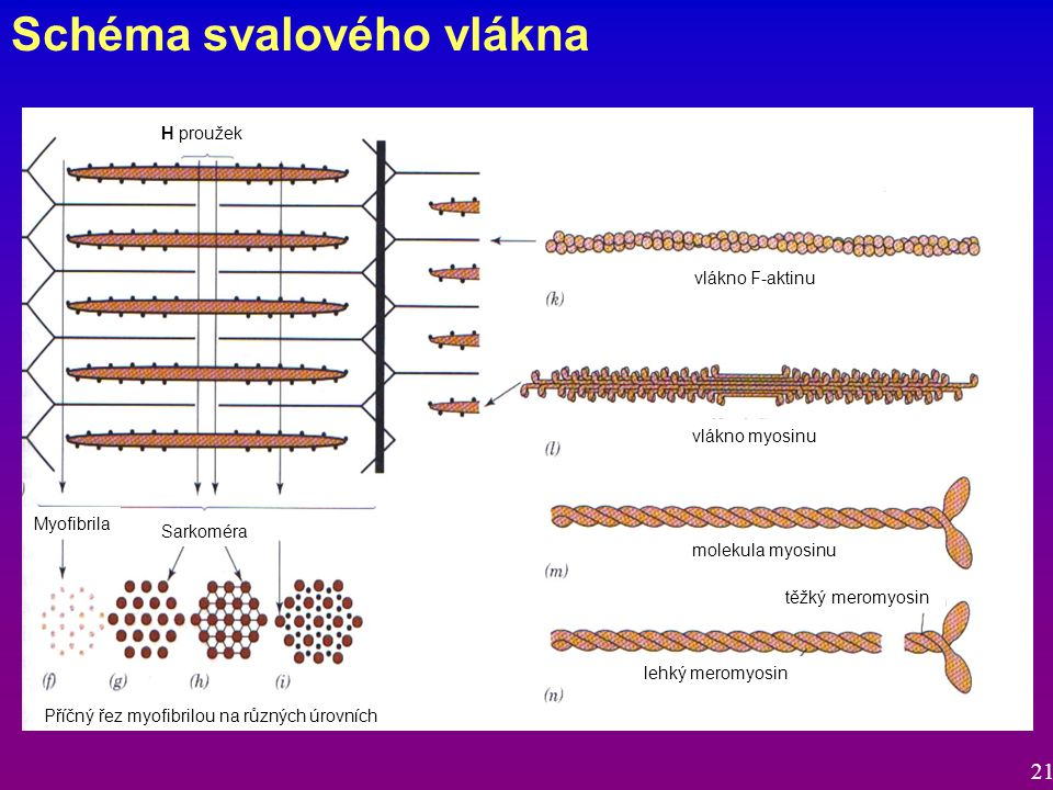 Schéma svalového vlákna Sarkoméra Myofibrila Příčný řez myofibrilou na různých úrovních vlákno F-aktinu vlákno myosinu molekula myosinu těžký meromyosin lehký meromyosin H proužek 21