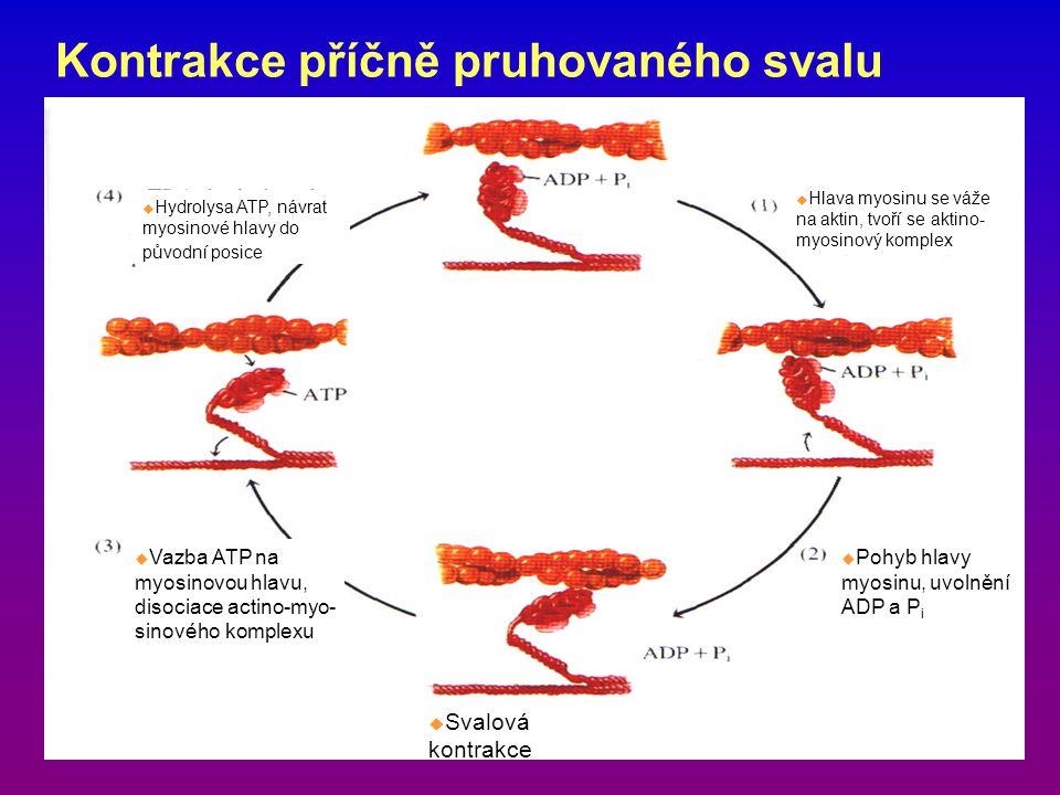 Kontrakce příčně pruhovaného svalu  Hlava myosinu se váže na aktin, tvoří se aktino- myosinový komplex  Svalová kontrakce  Vazba ATP na myosinovou hlavu, disociace actino-myo- sinového komplexu  Hydrolysa ATP, návrat myosinové hlavy do původní posice  Pohyb hlavy myosinu, uvolnění ADP a P i