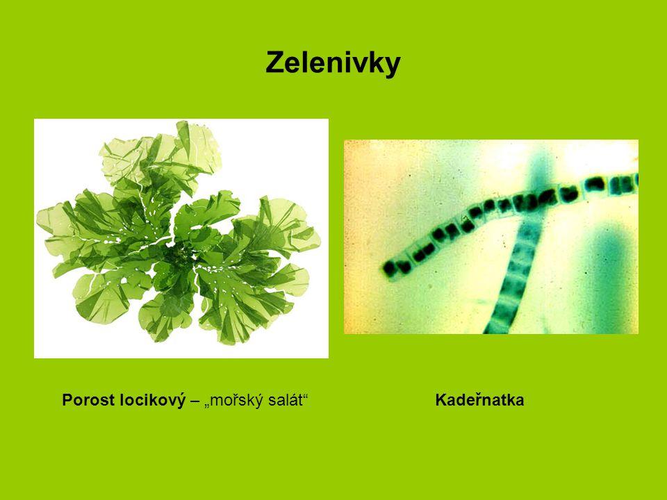 """Zelenivky Porost locikový – """"mořský salát""""Kadeřnatka"""