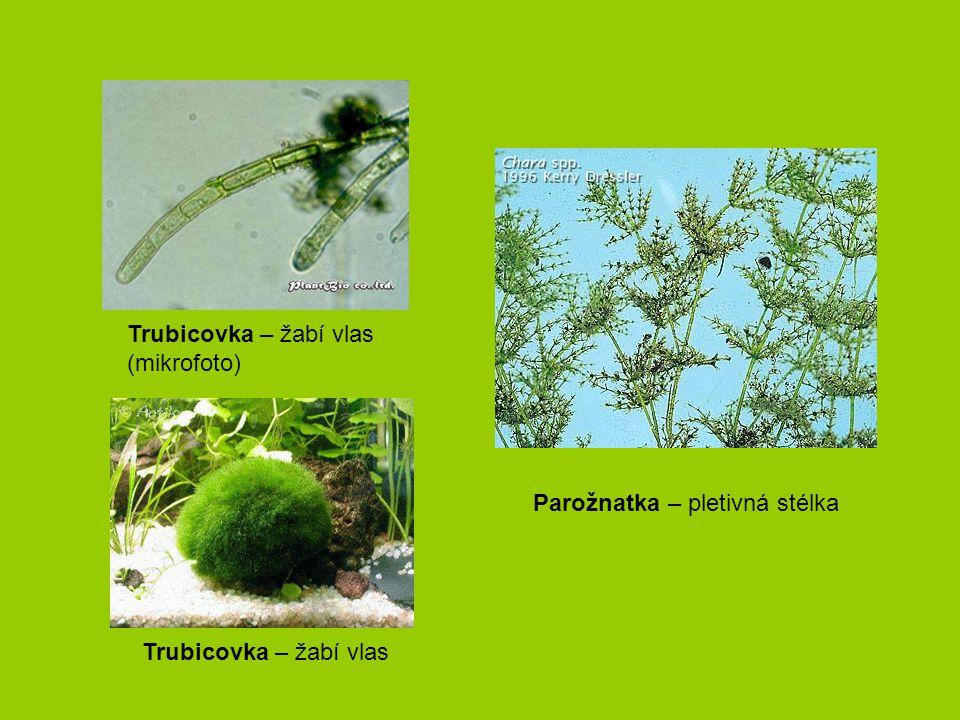 Trubicovka – žabí vlas (mikrofoto) Trubicovka – žabí vlas Parožnatka – pletivná stélka
