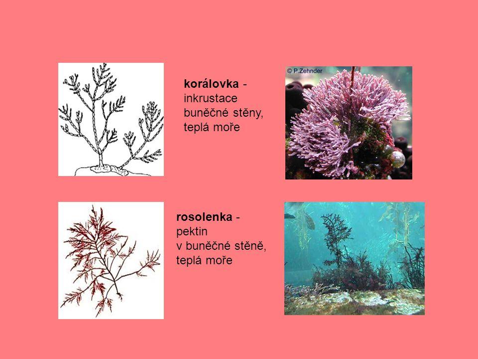 další mořští zástupci : porphyra – potravina ve východní Asiipuchratka – surovina pro potravinářký průmysl