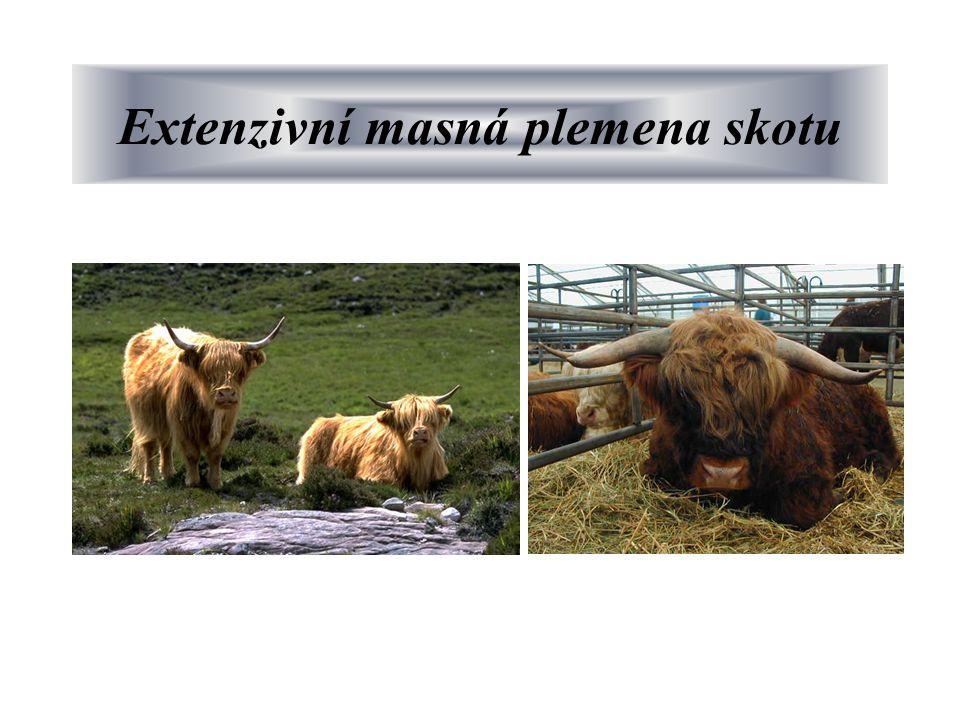 Extenzivní masná plemena skotu