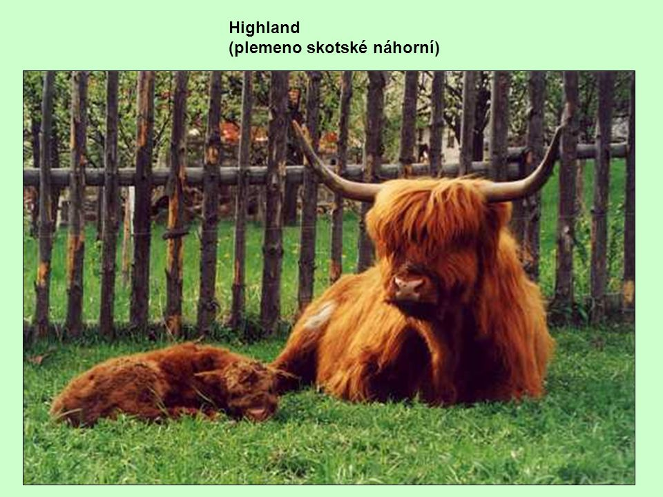 Highland (plemeno skotské náhorní)