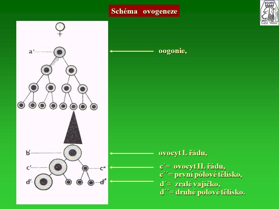 Schéma ovogeneze oogonie, ovocyt I. řádu, c´= ovocyt II. řádu, c´= ovocyt II. řádu, c´´= první pólové tělísko, c´´= první pólové tělísko, d´= zralé va