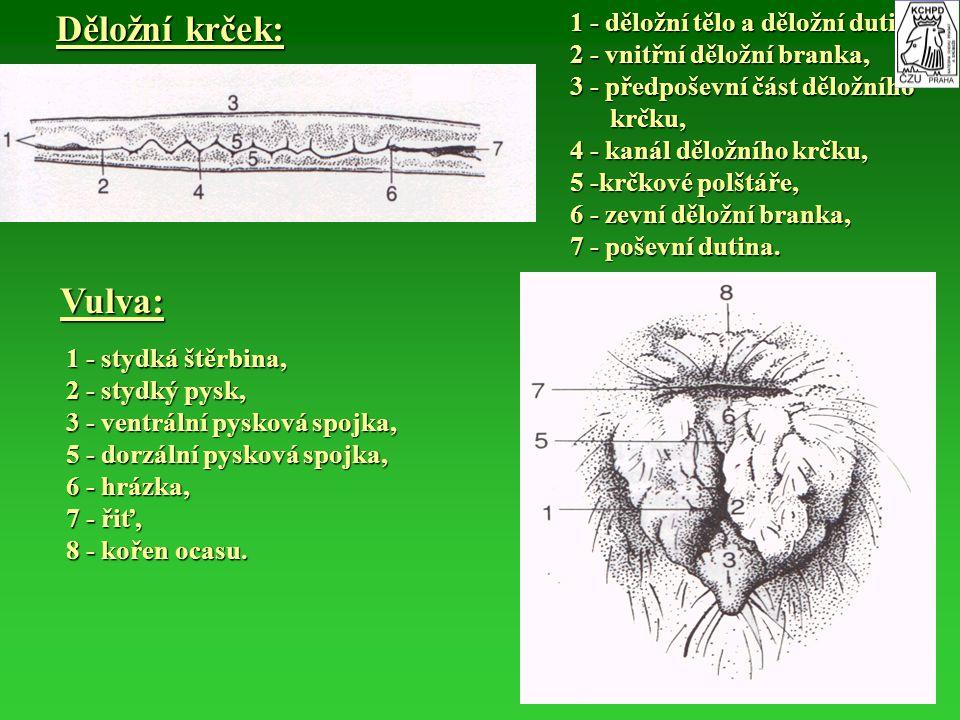 Děložní krček: 1 - děložní tělo a děložní dutina, 2 - vnitřní děložní branka, 3 - předpoševní část děložního krčku, krčku, 4 - kanál děložního krčku,