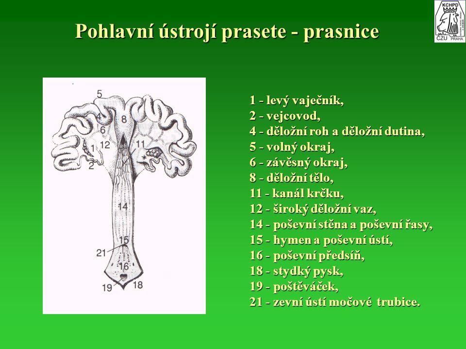 Pohlavní ústrojí prasete - prasnice 1 - levý vaječník, 2 - vejcovod, 4 - děložní roh a děložní dutina, 5 - volný okraj, 6 - závěsný okraj, 8 - děložní