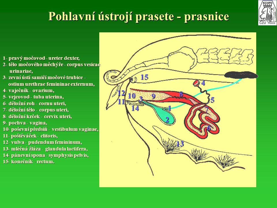 Pohlavní ústrojí prasete - prasnice 1- pravý močovod - ureter dexter, 2- tělo močového měchýře - corpus vesicae urinariae, urinariae, 3- zevní ústí sa