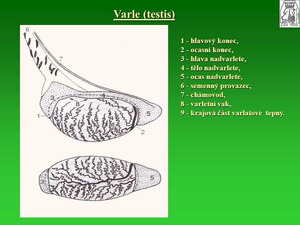 Varle (testis) 1 - hlavový konec, 2 - ocasní konec, 3 - hlava nadvarlete, 4 - tělo nadvarlete, 5 - ocas nadvarlete, 6 - semenný provazec, 7 - chámovod
