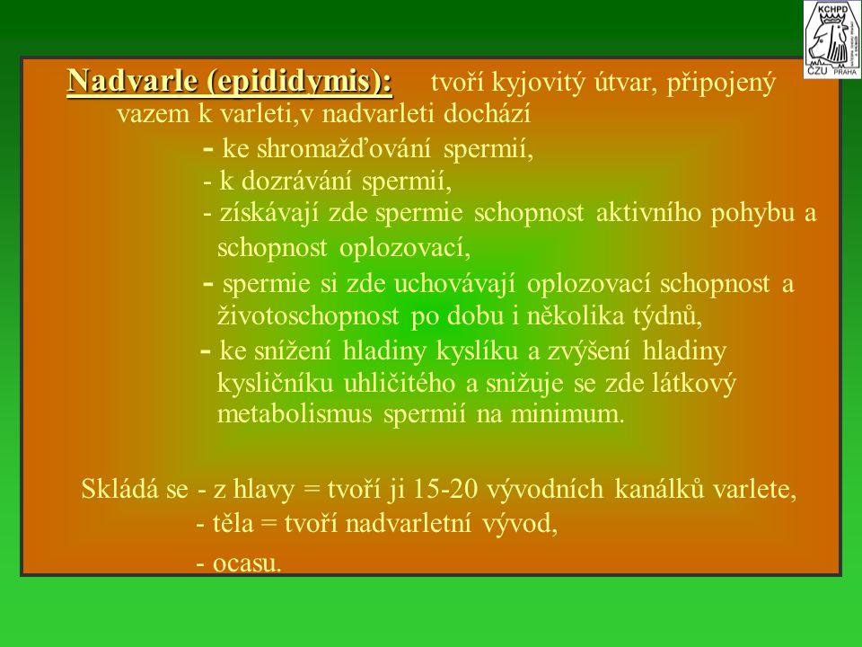 Nadvarle (epididymis): Nadvarle (epididymis): tvoří kyjovitý útvar, připojený vazem k varleti,v nadvarleti dochází - ke shromažďování spermií, - k doz