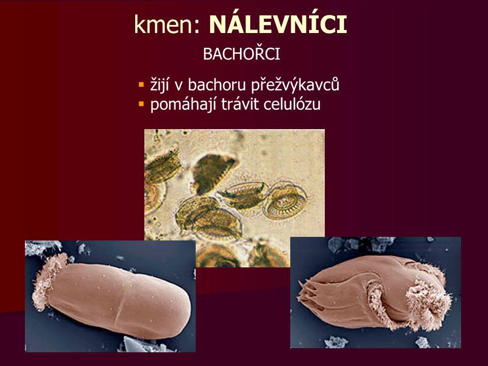  žijí v bachoru přežvýkavců  pomáhají trávit celulózu BACHOŘCI kmen: NÁLEVNÍCI