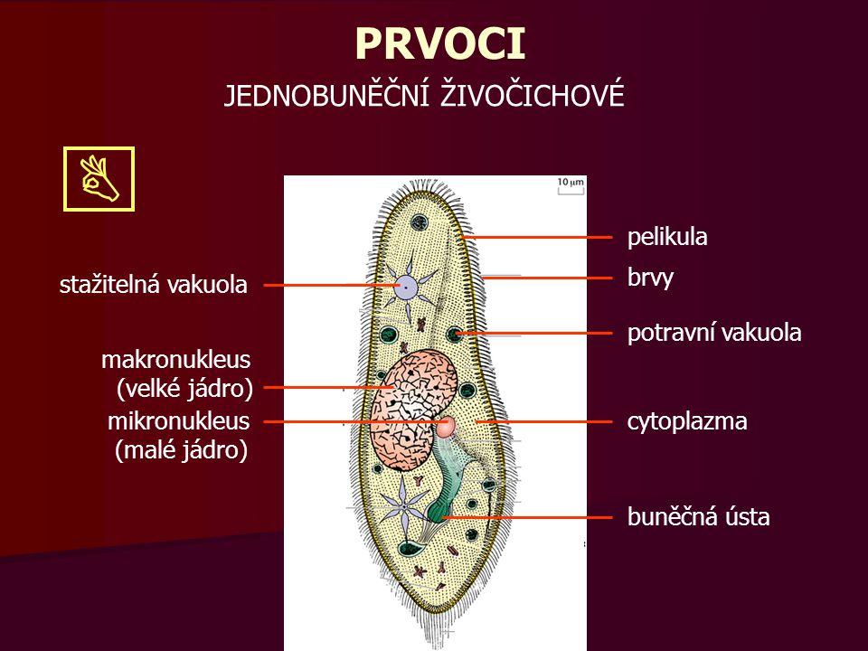 PRVOCI stažitelná vakuola makronukleus (velké jádro) mikronukleus (malé jádro) pelikula brvy potravní vakuola cytoplazma buněčná ústa Organely v buňce prvoků musí plnit stejné funkce jako naše složité soustavy.