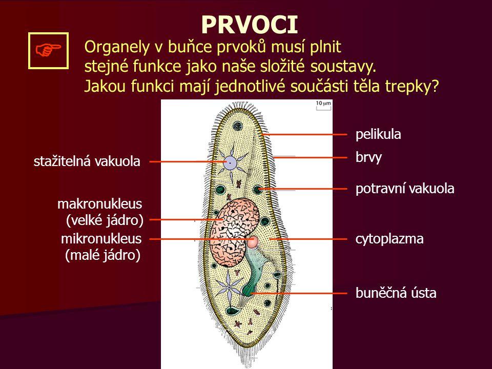 stažitelná vakuola makronukleus (velké jádro) mikronukleus (malé jádro) pelikula brvy potravní vakuola cytoplazma buněčná ústa  OPAKOVÁNÍ