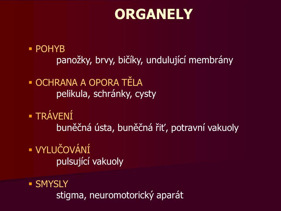 ORGANELY  POHYB panožky, brvy, bičíky, undulující membrány  OCHRANA A OPORA TĚLA pelikula, schránky, cysty  TRÁVENÍ buněčná ústa, buněčná řiť, potravní vakuoly  VYLUČOVÁNÍ pulsující vakuoly  SMYSLY stigma, neuromotorický aparát