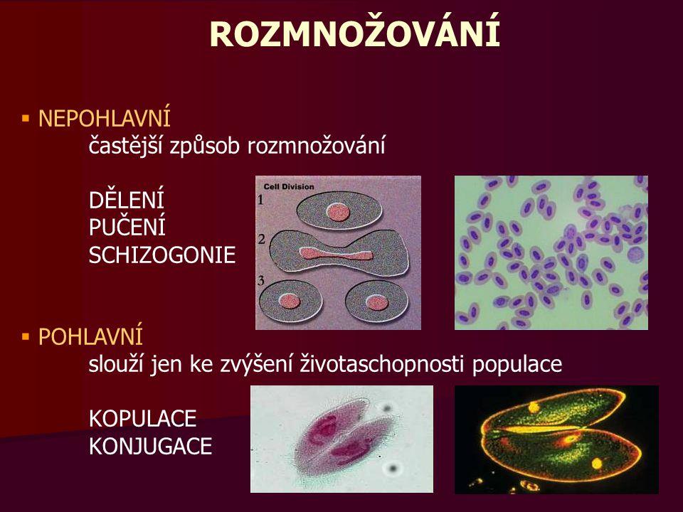 OPAKOVÁNÍ Utvořte správné dvojice a vysvětlete, jaký mezi nimi existuje vztah:  zimnička bachořec stigma kokcidie dírkonošci lamblie trypanosoma tse-tse světlo králík tenké střevo celulóza malárie vápenec