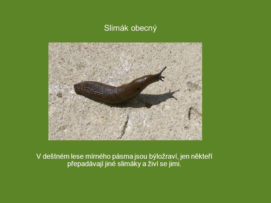 V deštném lese mírného pásma jsou býložraví, jen někteří přepadávají jiné slimáky a živí se jimi. Slimák obecný