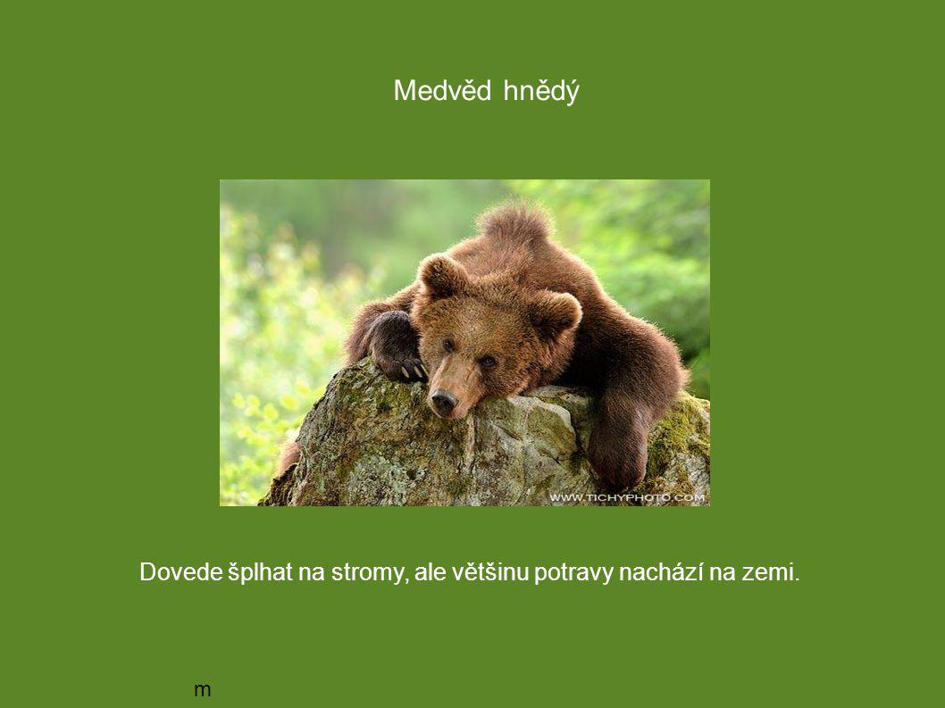 medvědmedvěd Medvěd hnědý Dovede šplhat na stromy, ale většinu potravy nachází na zemi.