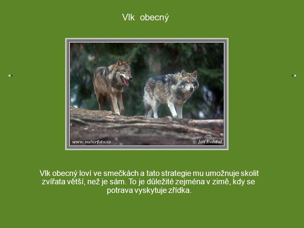 Vlk obecný loví ve smečkách a tato strategie mu umožnuje skolit zvířata větší, než je sám. To je důležité zejména v zimě, kdy se potrava vyskytuje zří