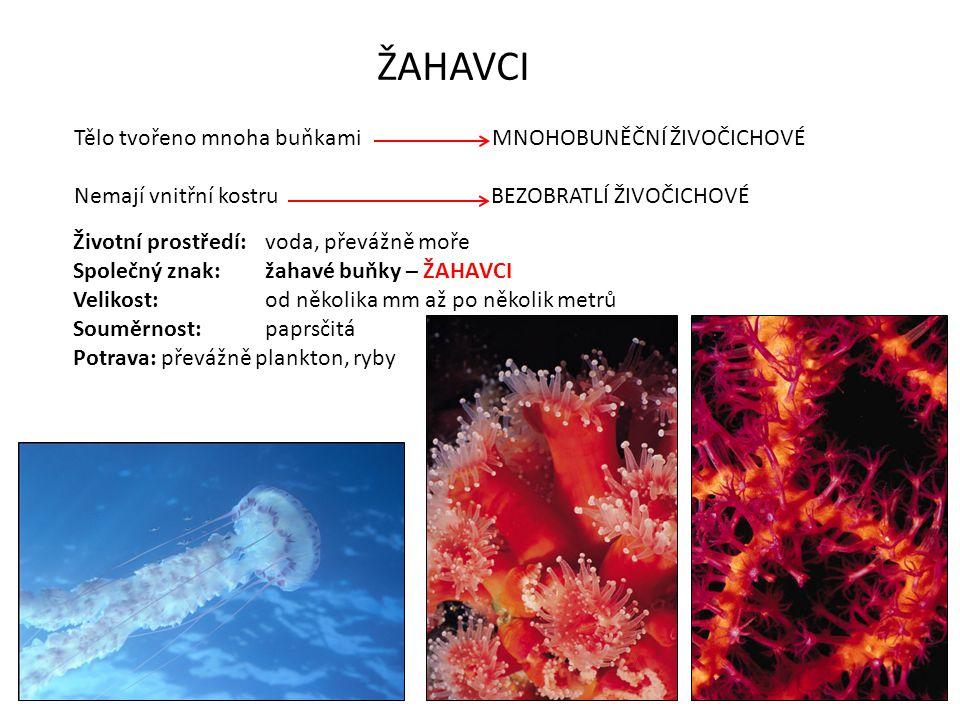 NEZMAR HNĚDÝ životní prostředí – sladké vody, pomalu tekoucí vody a tůně nožní terč pupen vnitřní vrstva buněk vnější vrstva buněk láčka žahavé buňky ústní otvor ramena STAVBA TĚLA