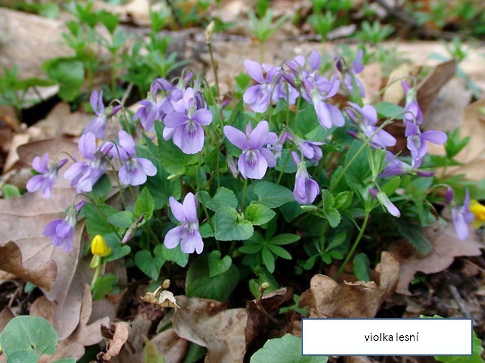 violka lesní