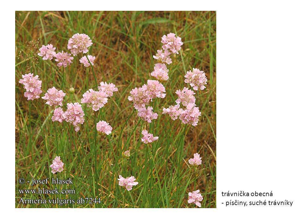 trávnička obecná - písčiny, suché trávníky