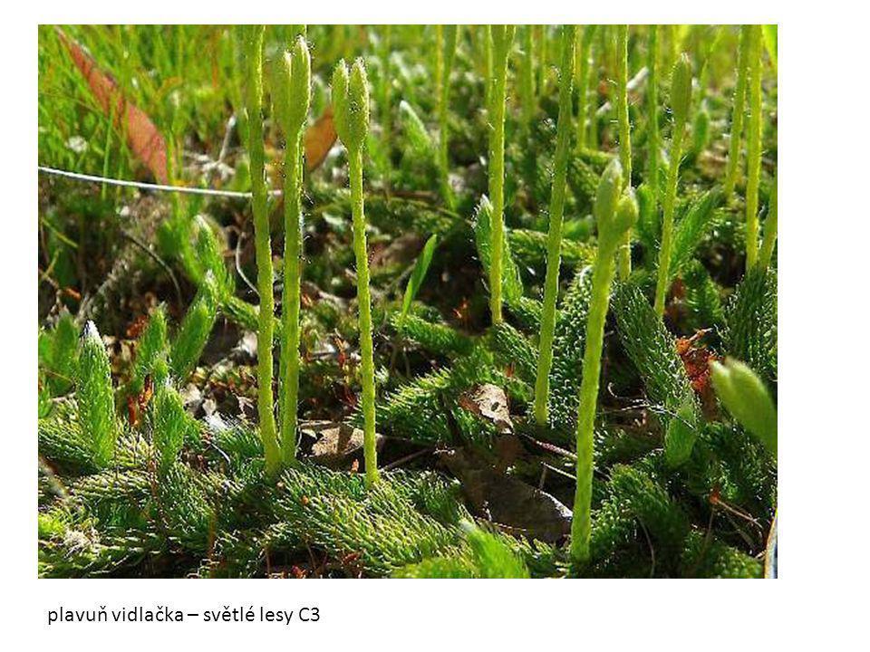 plavuň vidlačka – světlé lesy C3